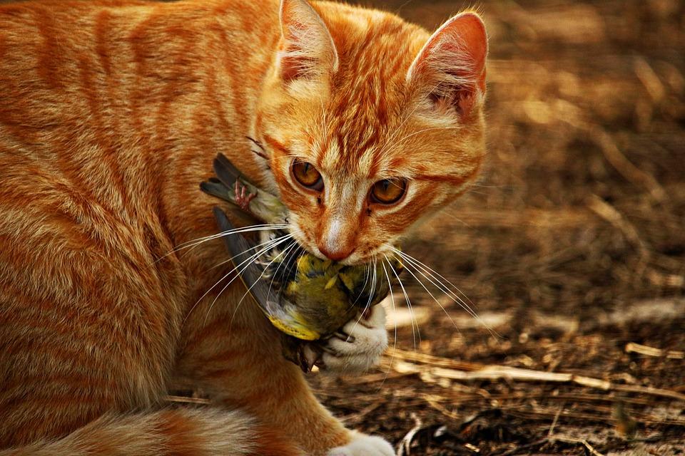 Natuurlijk eet gedrag van de kat